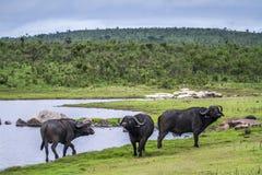 Afrykański bizon w Kruger parku narodowym, Południowa Afryka Fotografia Royalty Free