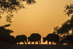 Afrykański bizon w Kruger parku narodowym, Południowa Afryka Obrazy Stock