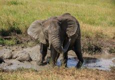 Afrykański Bush słoń ma borowinowego skąpanie Obraz Stock