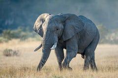 Afrykański byka słoń w Savuti, Botswana Zdjęcia Stock