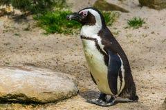 Afrykański czarny footed pingwin w zbliżeniu, Semi nadwodny ptak, Zagrażający zwierzęcy specie od wybrzeża Afryka obrazy royalty free