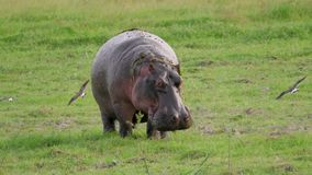 Afrykański dorosły hipopotam w dzikim w paśniku defecates pod presją zbiory