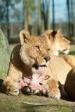 afrykański duży łasowania kobiety lew Fotografia Royalty Free