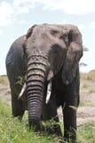 afrykański duży słoń obrazy stock