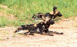 Afrykański dziki dogsLycaon pictus, Kruger park narodowy, Południowa Afryka Zdjęcia Royalty Free