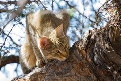 Afrykański dziki kot patrzeje dla karmowej wysokości up Obraz Stock