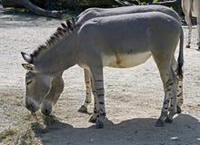 Afrykański dziki osioł Fotografia Royalty Free