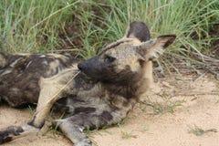 Afrykański Dziki pies leniwi się obok drogi Zdjęcie Royalty Free