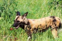Afrykański dziki pies lub afrykanin malowaliśmy dogLycaon pictus Południowa Afryka - Kruger park narodowy - Obrazy Royalty Free