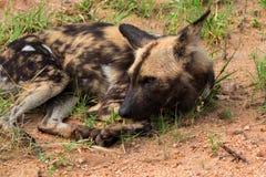 Afrykański dziki pies lub afrykanin malowaliśmy psa, Kruger park narodowy, Południowa Afryka Obraz Royalty Free