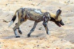 Afrykański Dziki pies - także znać gdy malujący psi odprowadzenie przez suche zakurzone równiny w zambiach Obrazy Stock