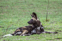Afrykański dziki pies w Kruger parku narodowym, Południowa Afryka Obrazy Royalty Free