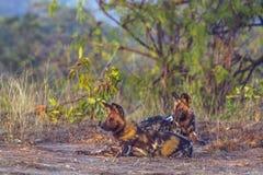 Afrykański dziki pies w Kruger parku narodowym, Południowa Afryka Obraz Stock