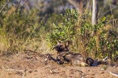 Afrykański dziki pies w Kruger parku narodowym, Południowa Afryka Zdjęcie Stock