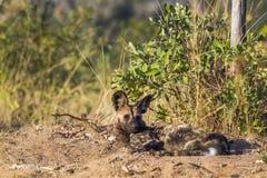 Afrykański dziki pies w Kruger parku narodowym, Południowa Afryka Obraz Royalty Free