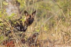 Afrykański dziki pies w Kruger parku narodowym, Południowa Afryka Zdjęcie Royalty Free