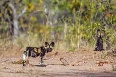 Afrykański dziki pies w Kruger parku narodowym, Południowa Afryka Fotografia Stock