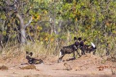 Afrykański dziki pies w Kruger parku narodowym, Południowa Afryka Zdjęcia Stock