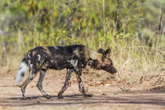 Afrykański dziki pies w Kruger parku narodowym, Południowa Afryka Zdjęcia Royalty Free