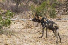 Afrykański dziki pies w Kruger parku narodowym, Południowa Afryka Obrazy Stock