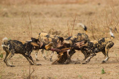 Afrykański Dziki pies & x28; Lycaon pictus& x29; rozdzierać Impala ścierwo Fotografia Royalty Free