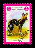 Afrykański Dziki pies, zwierzęcia seria około 1984, (Lycaon pictus) Fotografia Royalty Free