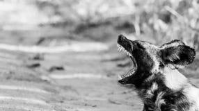 Afrykański dzikiego psa ziewanie w czarny i biały w Kruger parku narodowym, Południowa Afryka Obrazy Stock