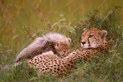 Afrykański gepard z jej lisiątkami Fotografia Royalty Free