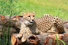 Afrykański geparda Acinonyx jubatus obsiadanie na drzewie obraz royalty free