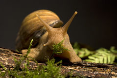 afrykański gigantyczny gruntowy ślimaczek obraz stock