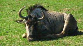 Afrykański gnu obsiadanie w chłodno trawie Fotografia Royalty Free