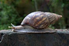 Afrykański gruntowego ślimaczka czołganie Fotografia Stock