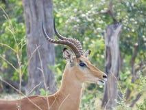 Afrykański impala, aerpyceros melampus, Botswana fotografia royalty free