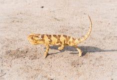 afrykański kameleon Zdjęcia Stock