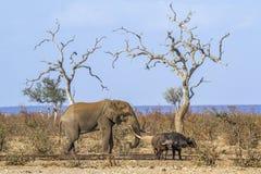 Afrykański krzaka słoń i afrykanina bizon w Kruger obywatela normie Fotografia Stock