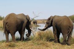 Afrykański krzaka słoń, Loxodonta africana Zdjęcie Stock
