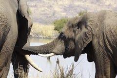 Afrykański krzaka słoń, Loxodonta africana Obrazy Royalty Free