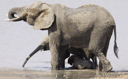 Afrykański krzaka słoń, Loxodonta africana Zdjęcia Royalty Free