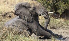 Afrykański krzaka słoń, Loxodonta africana Obraz Royalty Free