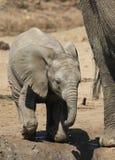 Afrykański krzaka słoń, Loxodonta africana Zdjęcie Royalty Free