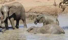 Afrykański krzaka słoń, Loxodonta africana Obrazy Stock