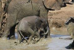 Afrykański krzaka słoń, Loxodonta africana Fotografia Stock