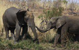 Afrykański krzaka słoń, Loxodonta africana powitanie Obrazy Stock
