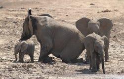 Afrykański krzaka słoń, Loxodonta africana rodzina Zdjęcia Stock