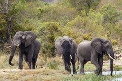 Afrykański krzaka słoń w Kruger parku narodowym Obraz Royalty Free