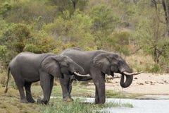 Afrykański krzaka słoń w Kruger parku narodowym Zdjęcia Royalty Free