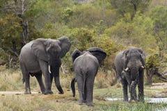Afrykański krzaka słoń w Kruger parku narodowym Obrazy Stock