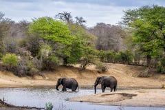 Afrykański krzaka słoń w Kruger parku narodowym Fotografia Royalty Free