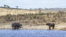 Afrykański krzaka słoń w Kruger parku narodowym, Południowa Afryka Zdjęcie Royalty Free