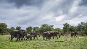 Afrykański krzaka słoń w Kruger parku narodowym, Południowa Afryka Zdjęcia Royalty Free